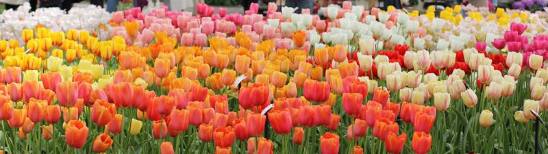 Tulips at Keukenhof Park in Lisse.